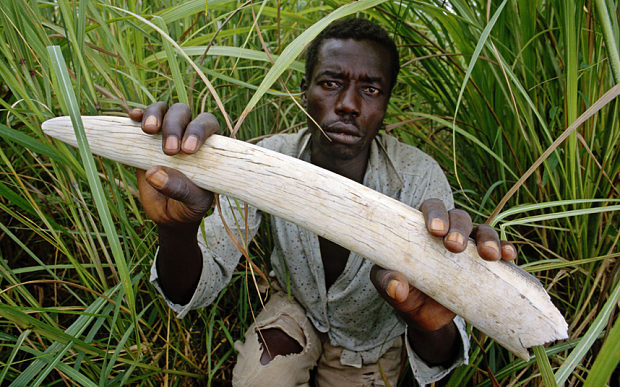 A park ranger holds up a confiscated elephant tusk at Garamba National Park ©Photo by Mint Images/REX/Shutterstock