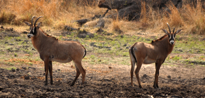 Katavi is the third largest game park in Tanzania, situated east of Lake Tanganyika - and it is one of the places where you can see the rare roan antelope.