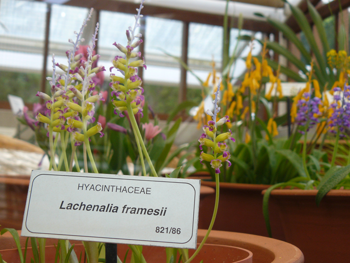 Be inspired by your local botanical garden and try some indigenous bulbs. With most being native to the Western Cape, Lachenalia bulbs will usually flower in autumn or early winter when the rains start and die down in summer as it dries up.