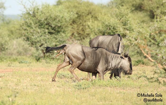 legs-of-wildebeest-appear