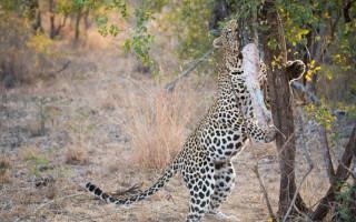 leopard-eating-python