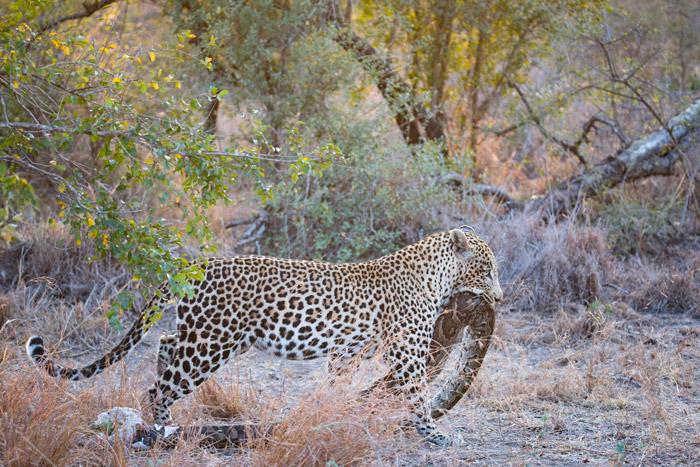 leopard-eats-python
