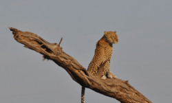 leopard-in-tree-rift-valley