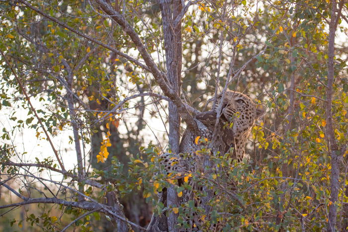 leopard-in-tree-with-python