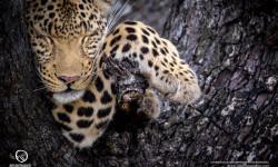 leopard-okavango