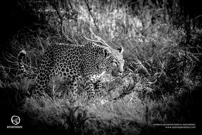 leopard-okavango-delta