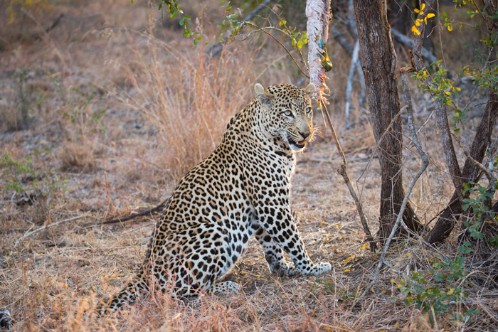 leopard-python-sabi