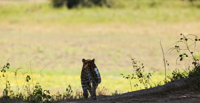 leopard-walking-away-luangwa