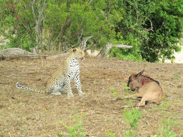 leopard-wildebeest-calf