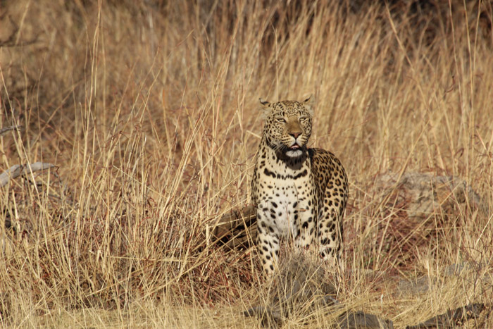 South African Leopard