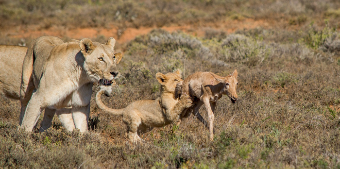 Two Lionesses Teach A Lion Cub How To Hunt Africa Geographic