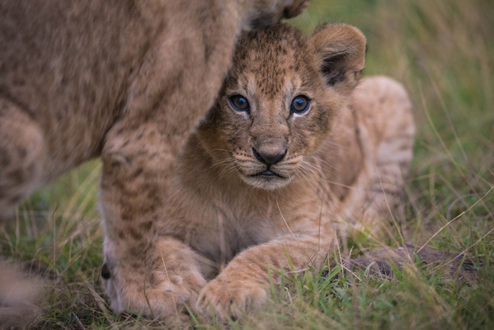 lion-cub-looking-out