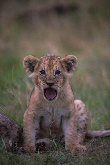 lion-cub-roar