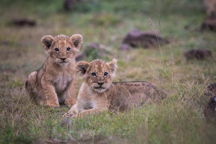 lion-cubs-kenya