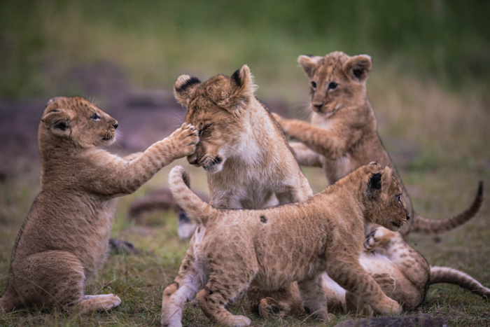 lion-cubs-playing