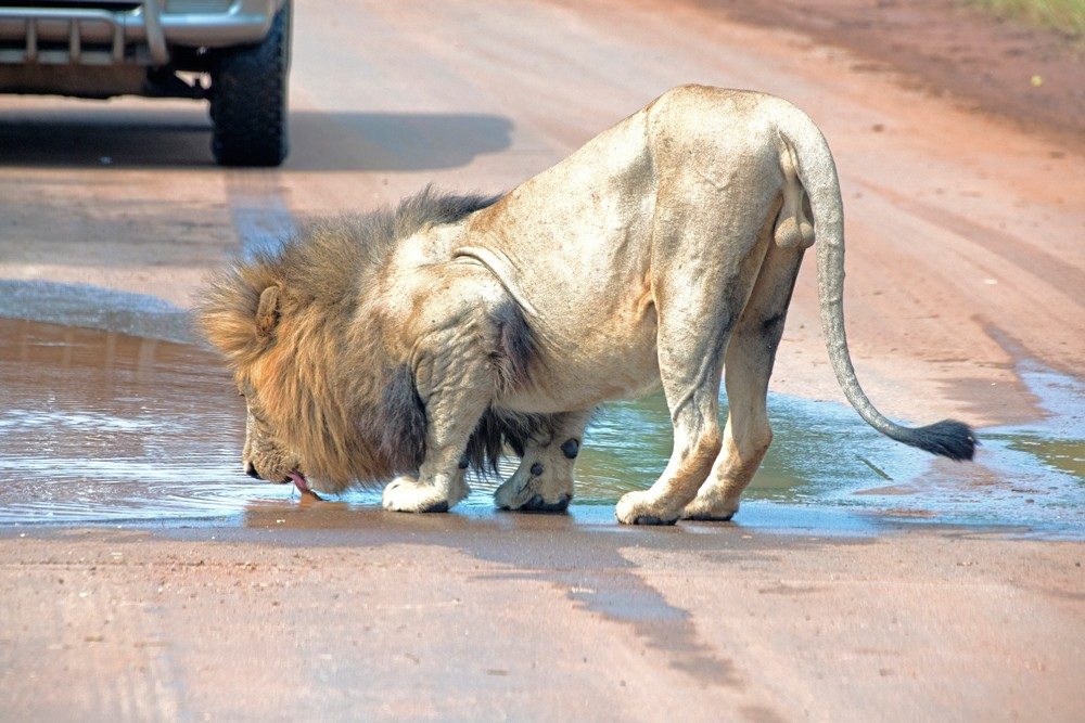 lion-drinking-kruger-sally-robinson
