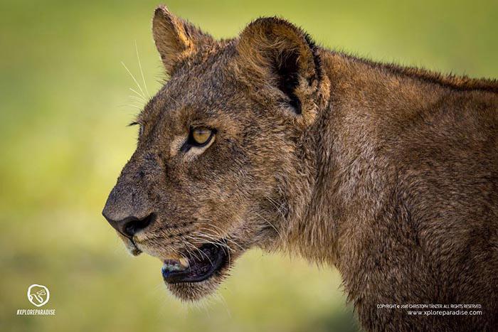 lion-okavango