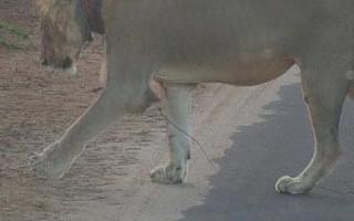 Image sourced on SANParks - Kruger National Park Facebook group