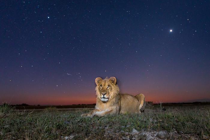 lion-will-burrard-lucas-norman-carr-safaris