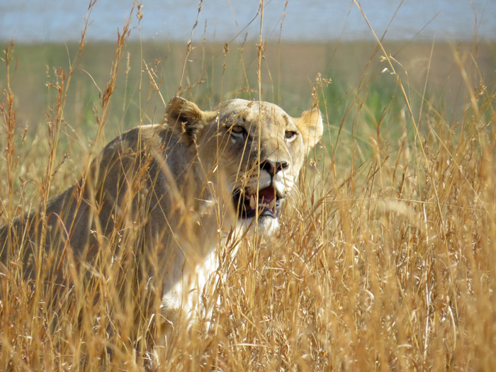 lioness-front-on