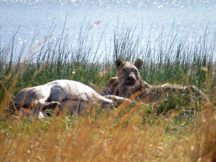 lioness-kills-zebra