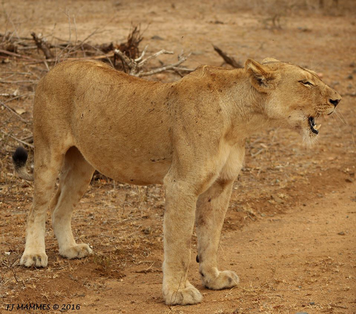 lioness-roars-in-frustration
