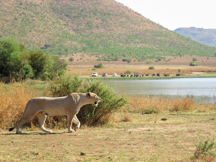 lioness-stalking-prey