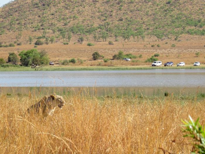 lioness-stalks-prey-in-pilanesberg