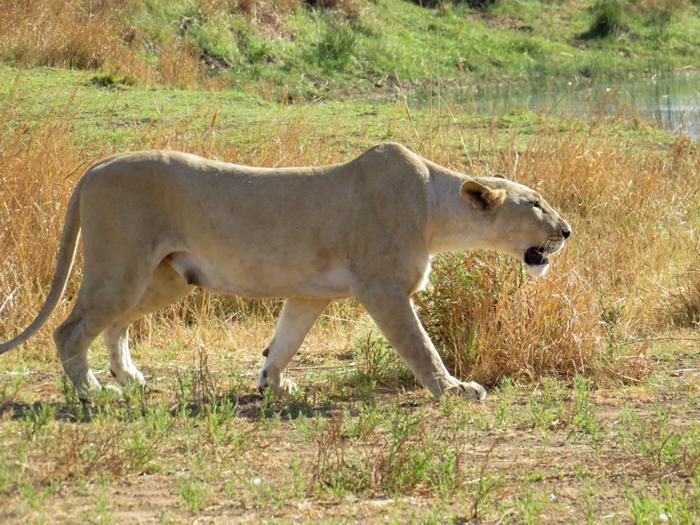 lioness-stalks-prey