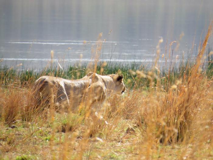 lioness-stalks-through-grass