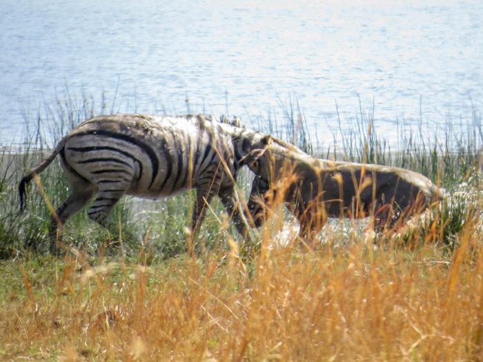 lioness-tackles-zebra