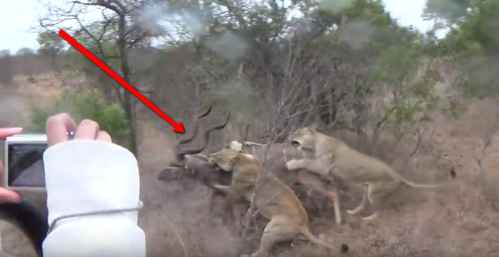 lionesses-pounce-on-kudu-kruger