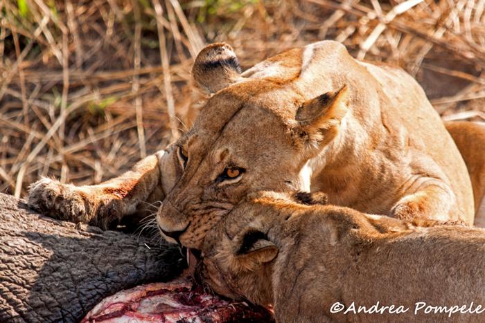 lions-eat-elephant
