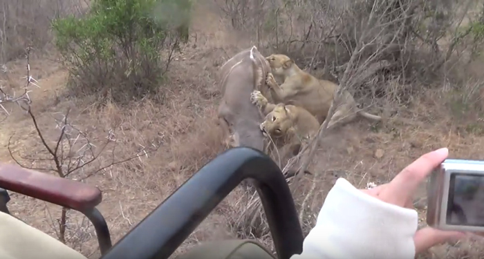 lions-hunt-kudu-greater-kruger