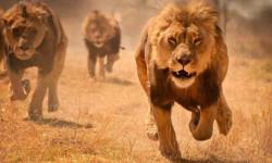 lions-running