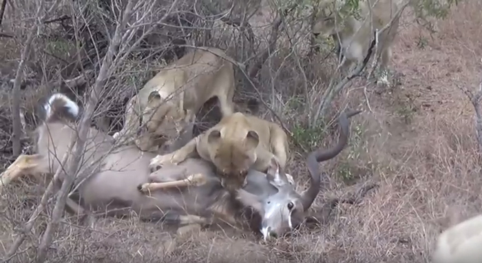 lions-start-to-feed-on-kudu