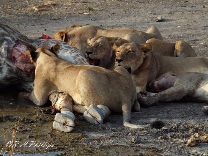 lions-with-giraffe-kill