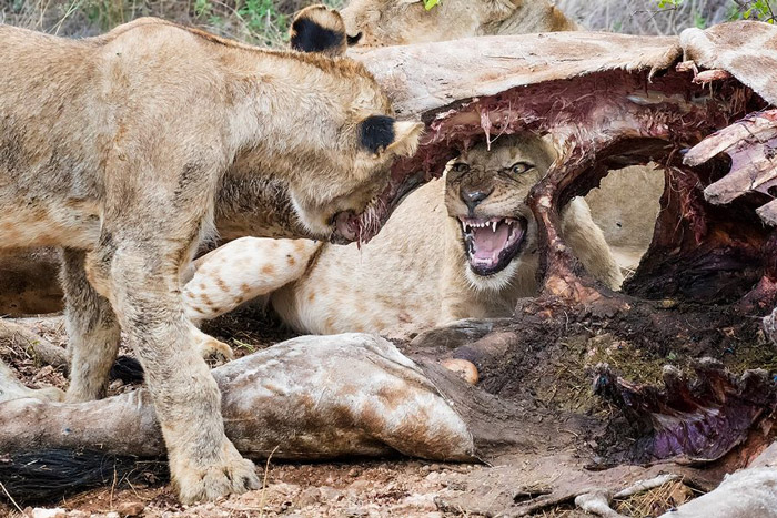 You have to be quick to capture action in the bushveld like these lions seen at Balule Nature Reserve, South Africa © Des Jacobs