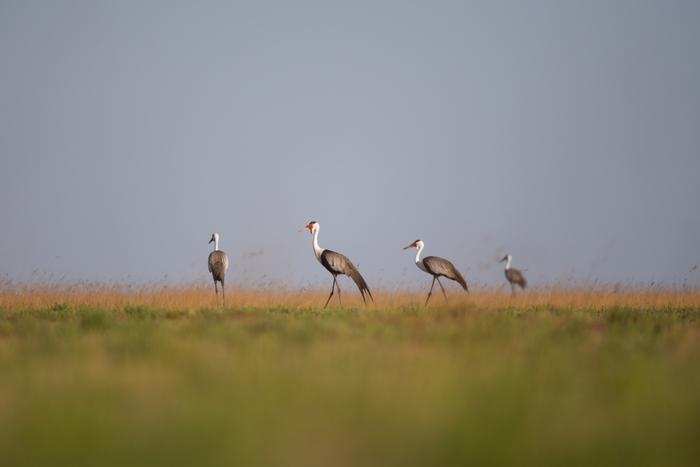 liuwa-will-burrard-lucas-norman-carr-safaris