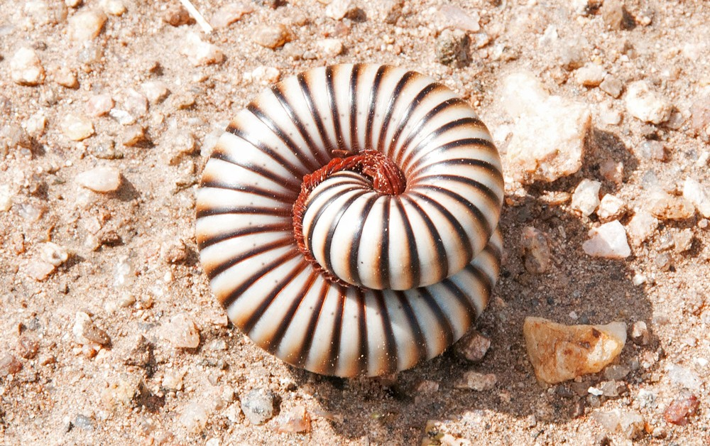 millipede-kruger-sally-robinson