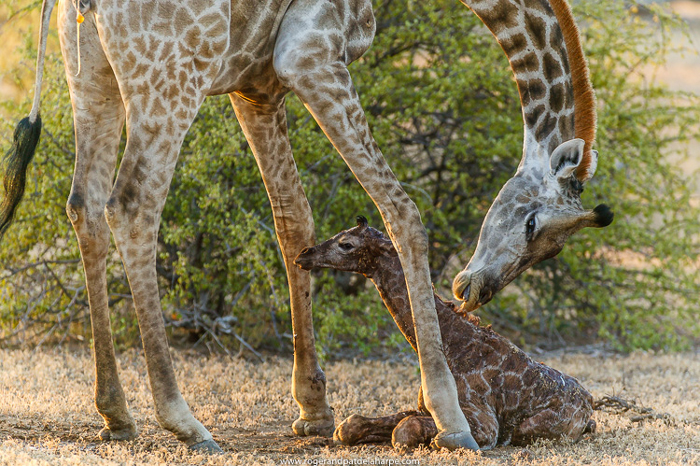 mother-and-baby-giraffe