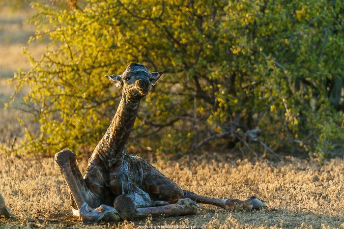 newborn-giraffe-baby
