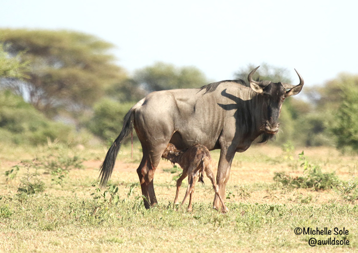 newborn-wildebeest-drinks