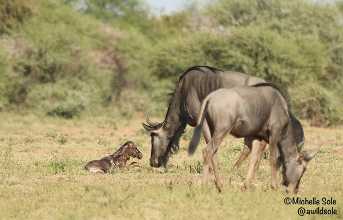 newborn-wildebeest-on-ground