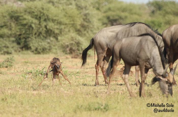 newborn-wildebeest-stands-up