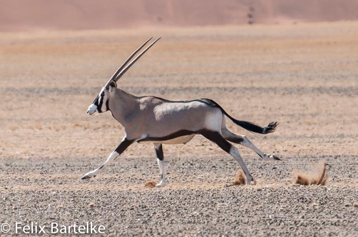 oryx-felix-bartelke