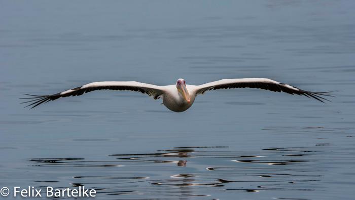 pelican-felix-bartelke