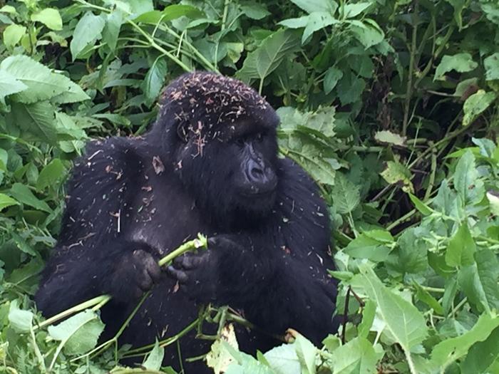 playful-gorilla