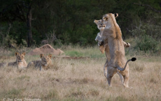 playing-lions