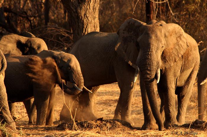 ruaha-elephants